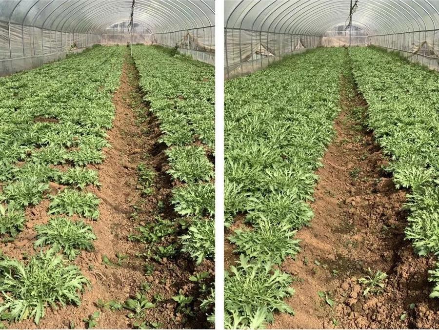 细叶生菜颗苗长势对比