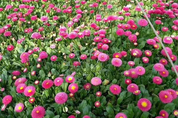 宿根花卉系列有哪些特点