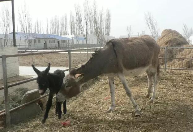 提高母驴受孕率,必须掌握这些!