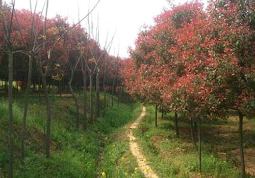 隨州景龍生態:苗木的修剪反應