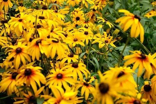 时令宿根草花的相关介绍有哪些?