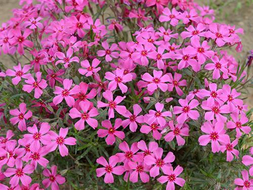 宿根花卉在园林中的应用你知道有哪些吗?
