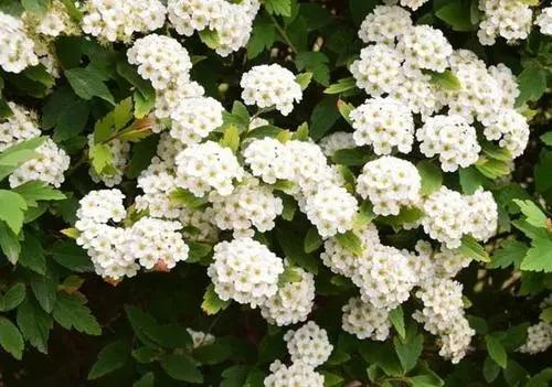 宿根花卉栽培时的注意事项