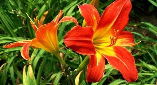 宿根花卉在园林中的应用