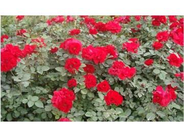 宿根花卉系列施肥有哪些技术