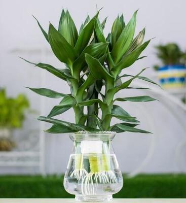 关于富贵竹的水养殖方法介绍