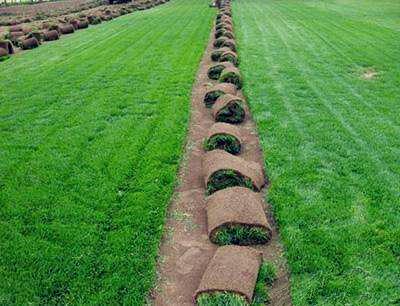 马尼拉草坪表面出现青苔怎么办?