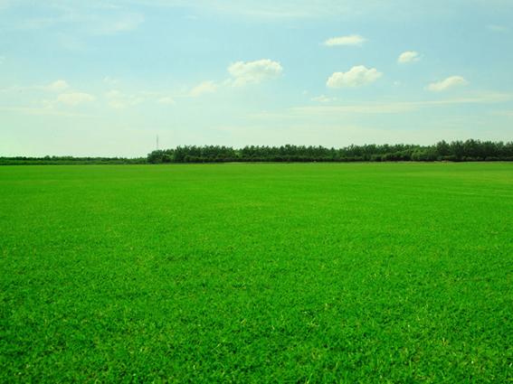 马尼拉草种植