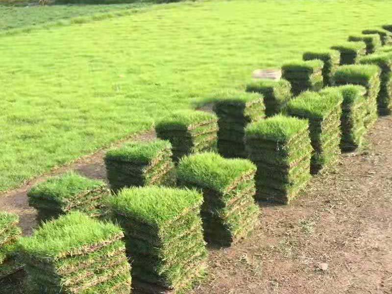 马尼拉草种植基地