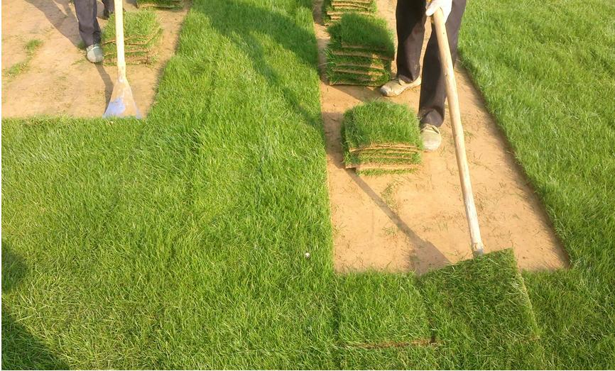 果岭草草坪