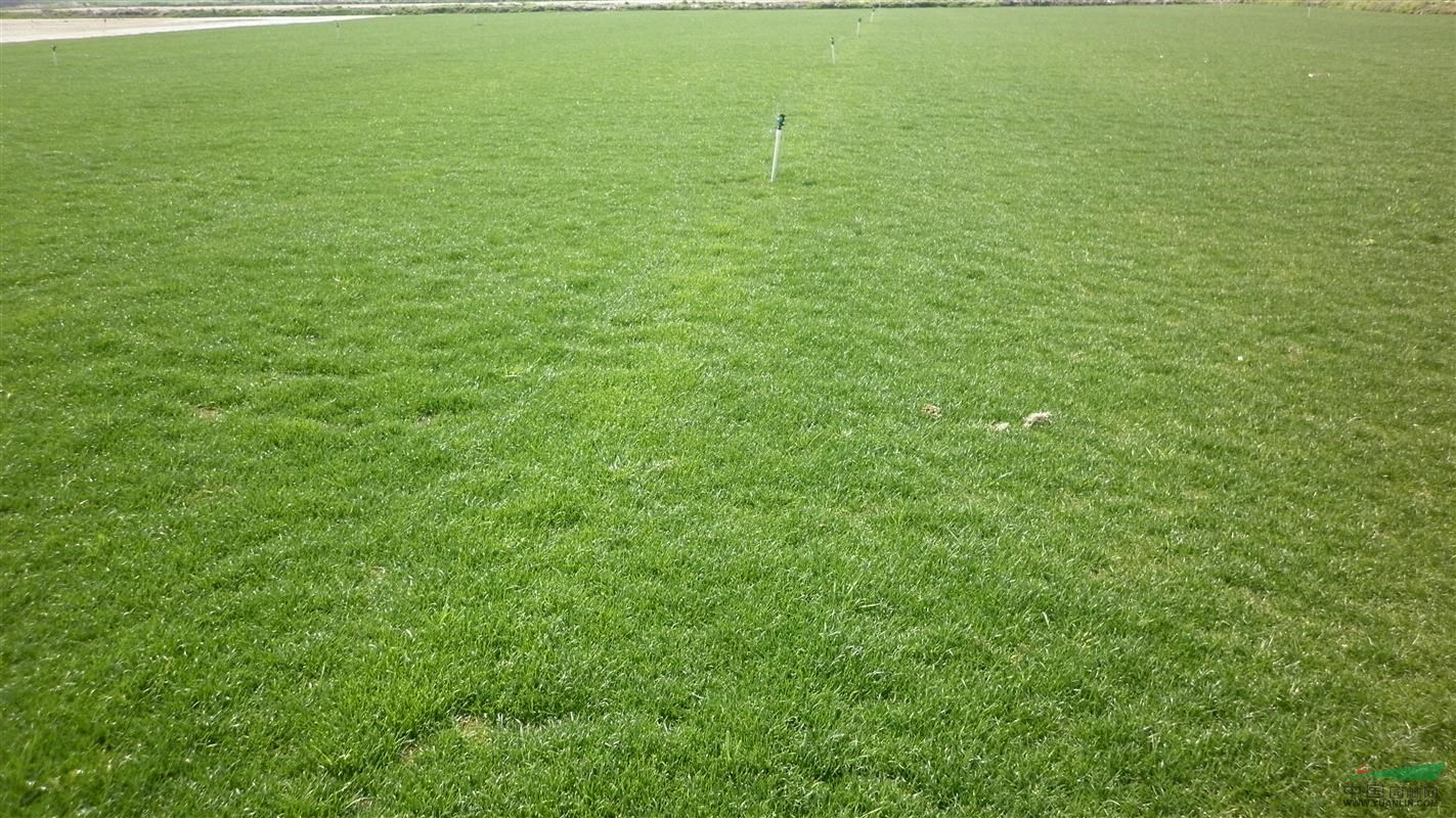 矮生百慕大草坪种植