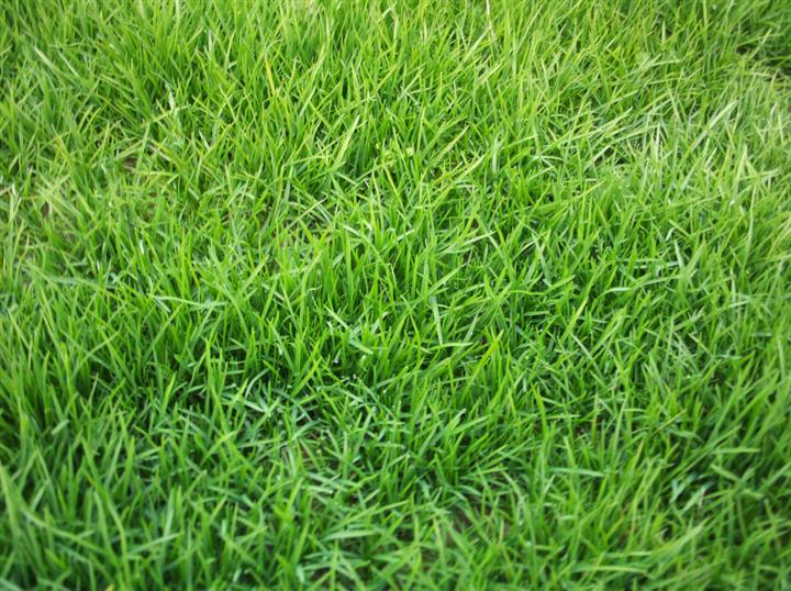 矮生百慕大草坪