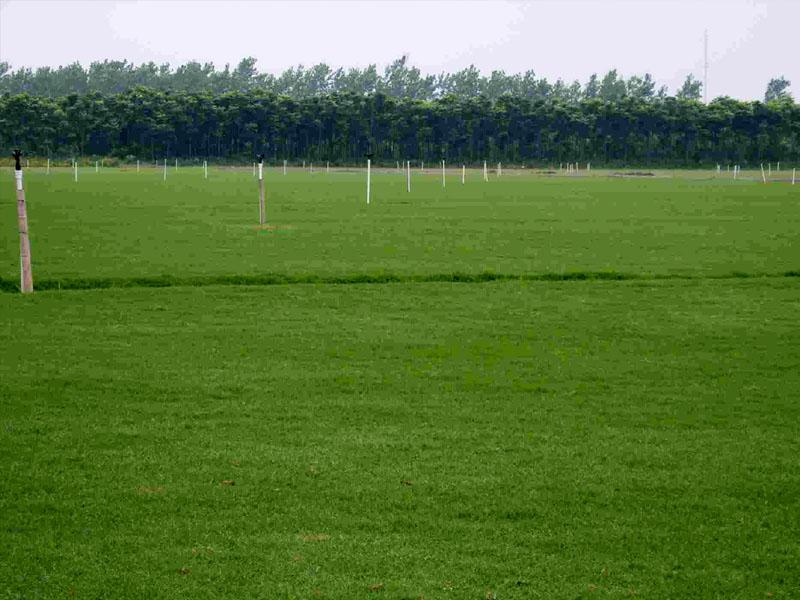 百慕大草坪草皮