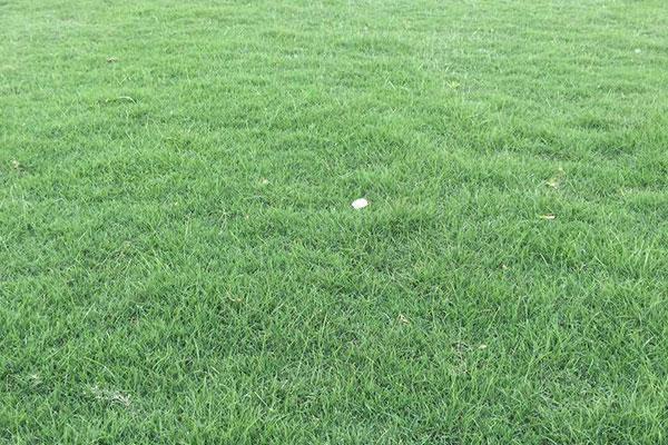 兰引三号草坪种植