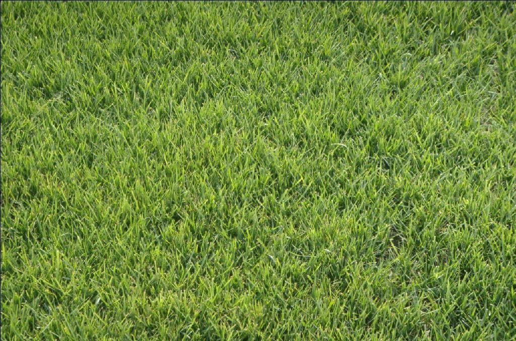 兰引三号草坪基地