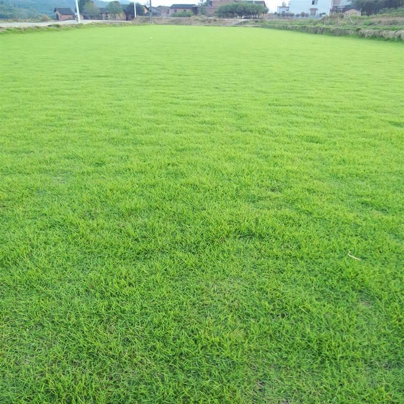 台湾青草坪种植