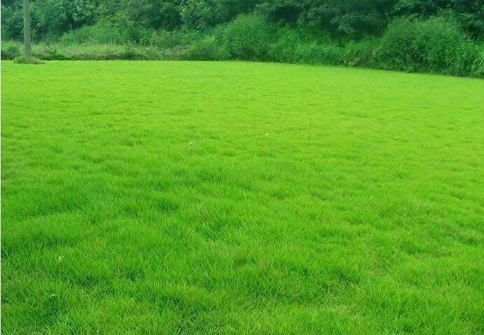 台湾青草坪