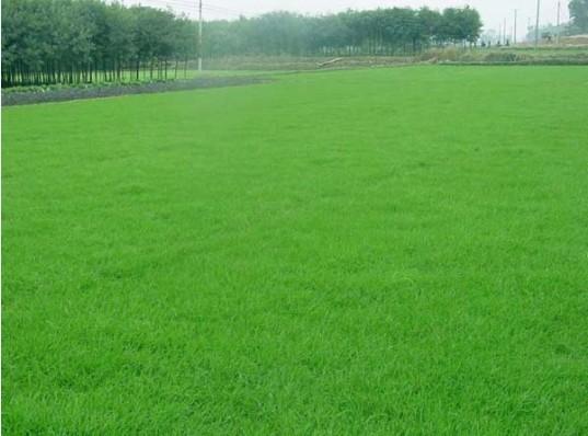 台湾青草皮