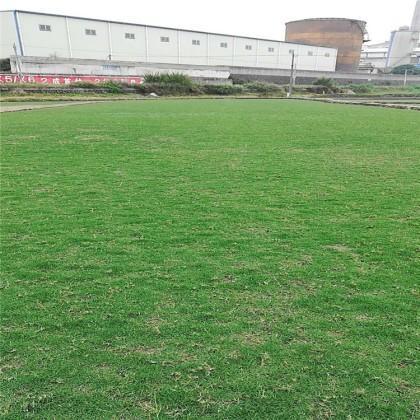 夏威夷草草坪种植