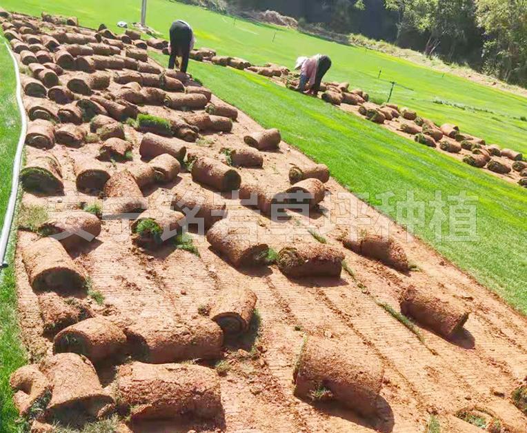 带泥土混播草草坪