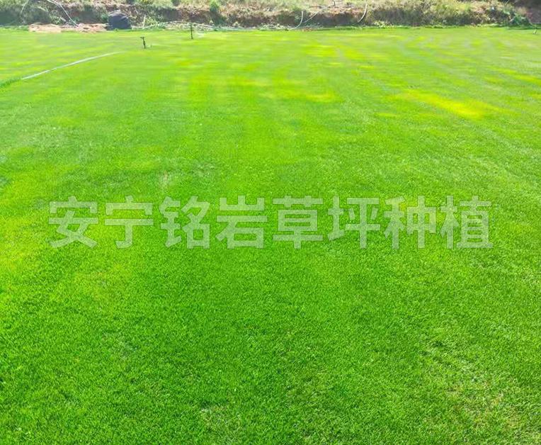 平地型混播草草坪