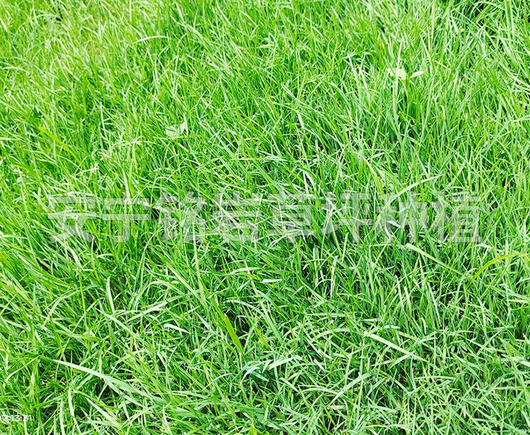 冷季型四季青草坪