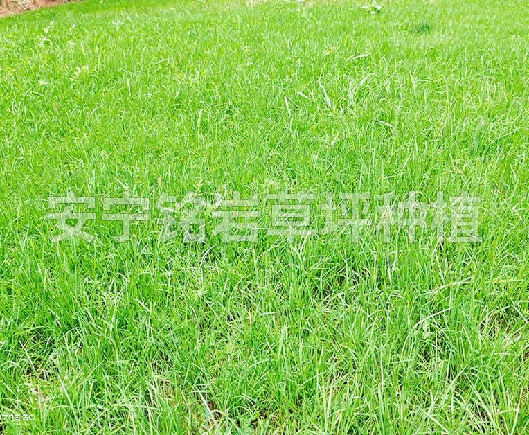 耐旱型四季青草坪