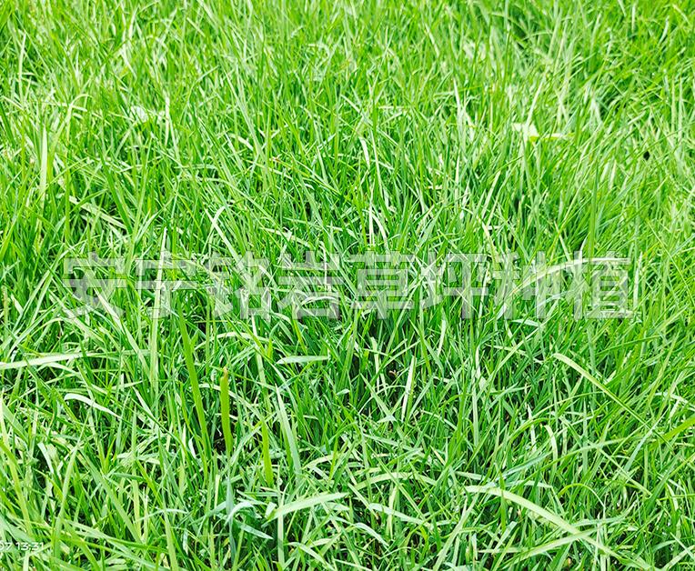 耐修剪四季青草坪