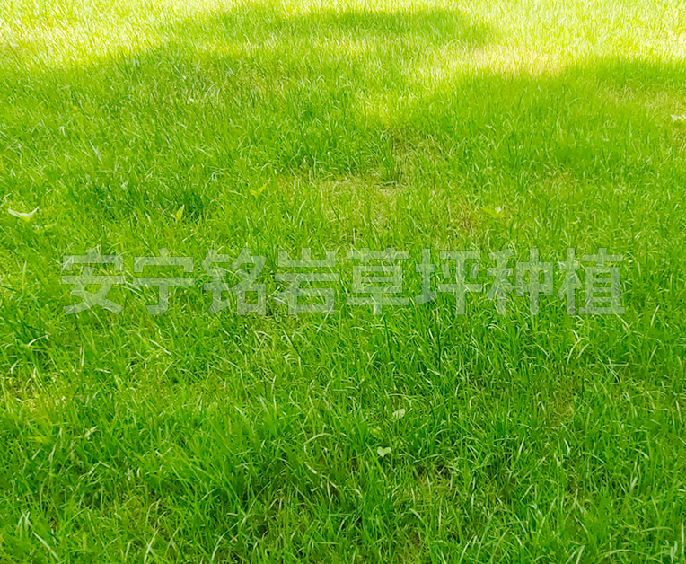 暖季型四季青草坪