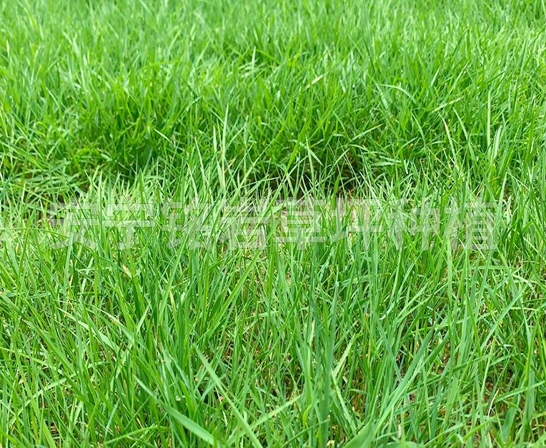 绿化剪股颖草坪