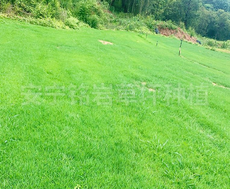 山林坡下剪股颖草坪