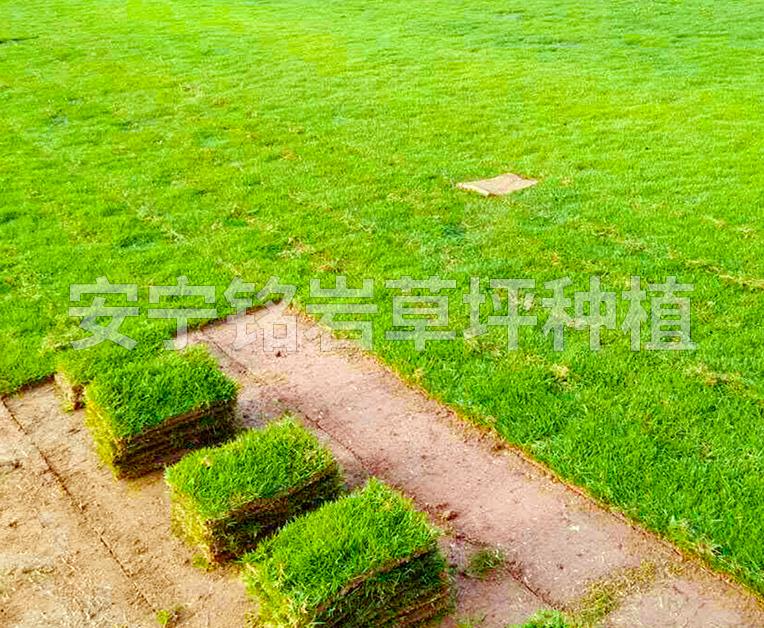 公路马尼拉草坪