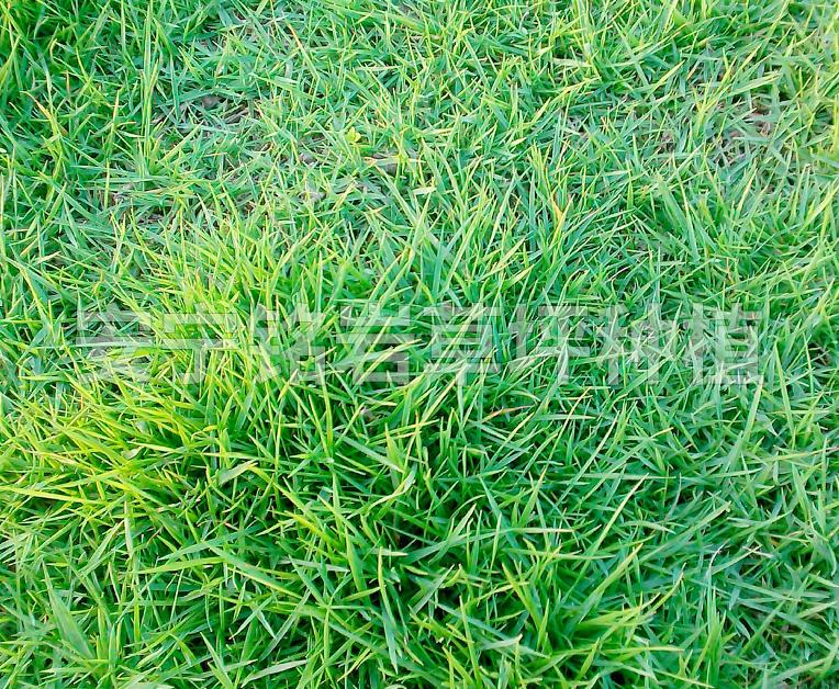 绿化带马尼拉草坪