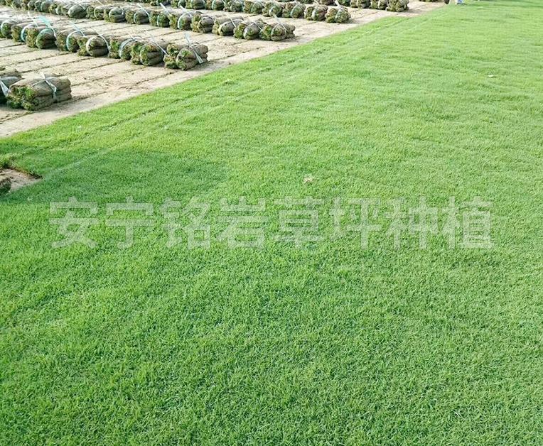 学校马尼拉草坪