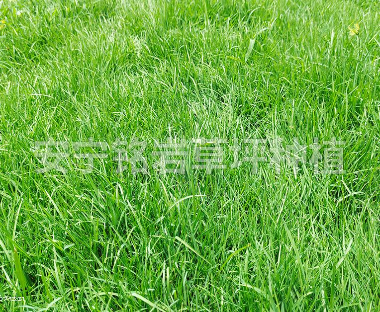 耐寒型四季青草坪