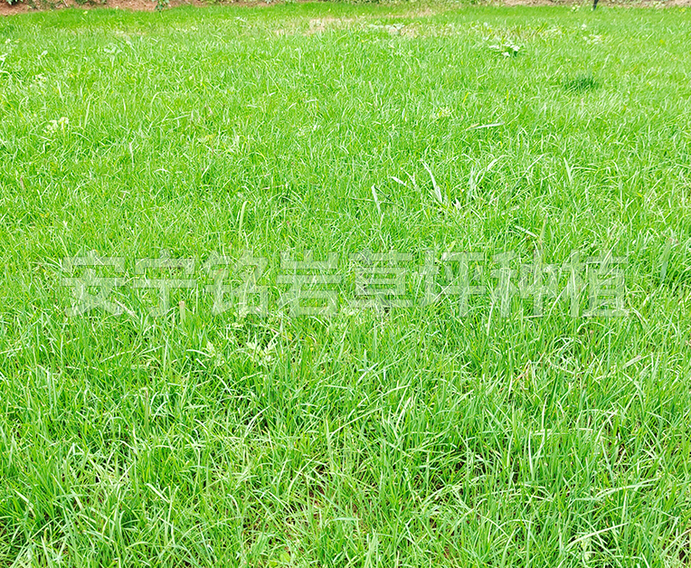 耐践踏四季青草坪