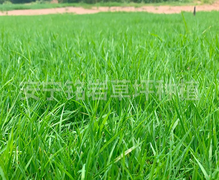适合种植在学校的草坪有哪些?你知道吗?
