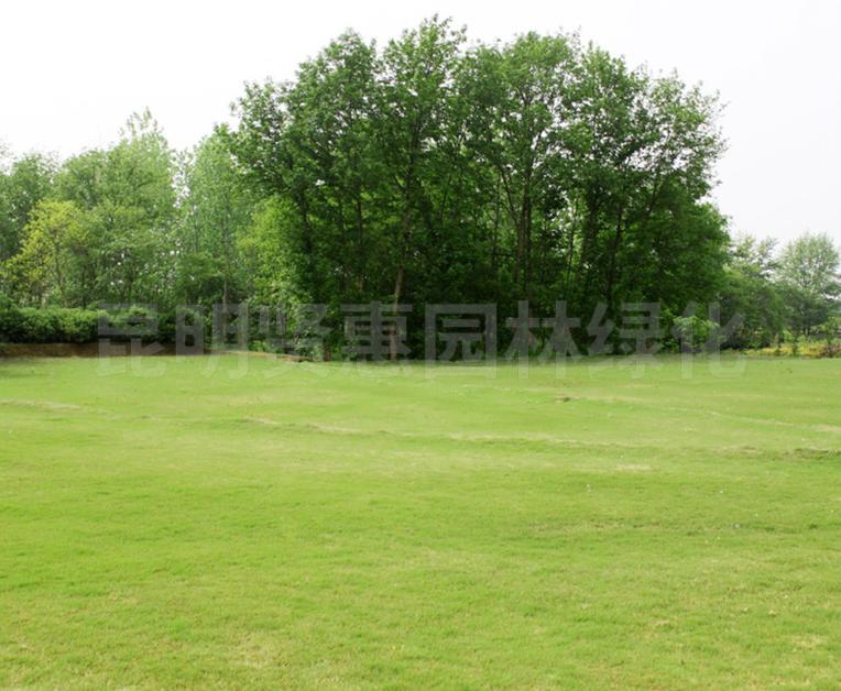 护土型马尼拉草坪