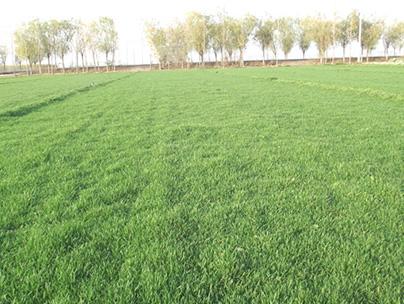 重庆草坪种植方法