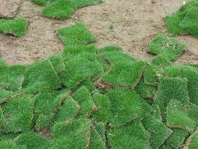 重庆草皮种植基地