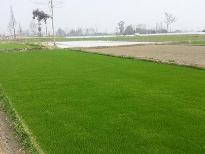 重庆草坪基地