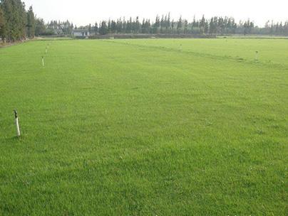 混播草草坪