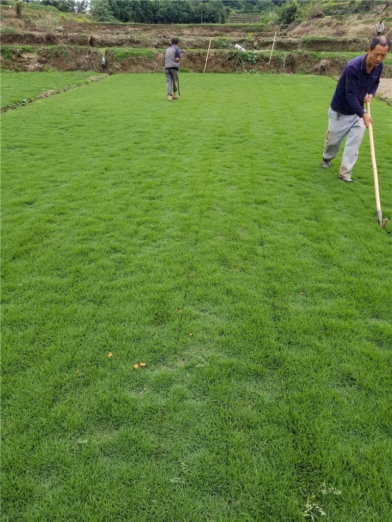 重庆混播草坪种植