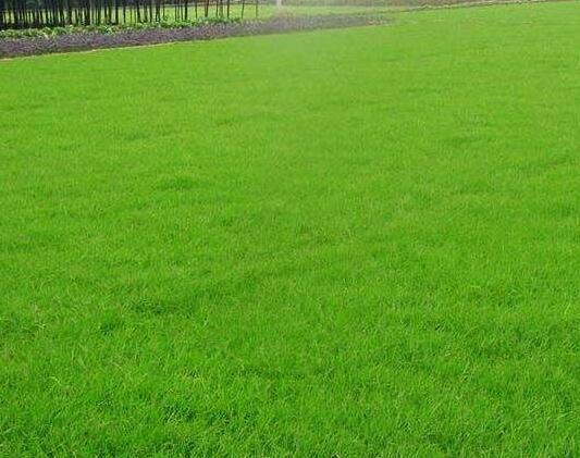 混播草草坪价格