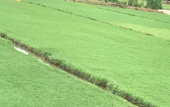 贵州草皮批发基地