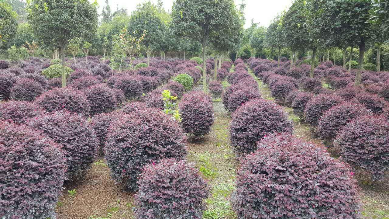 河南苗木种植基地