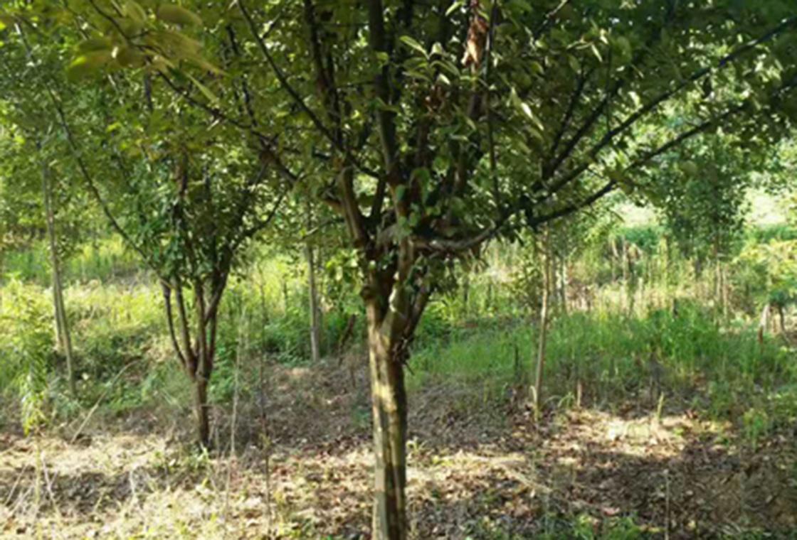 山茱萸树苗种植基地