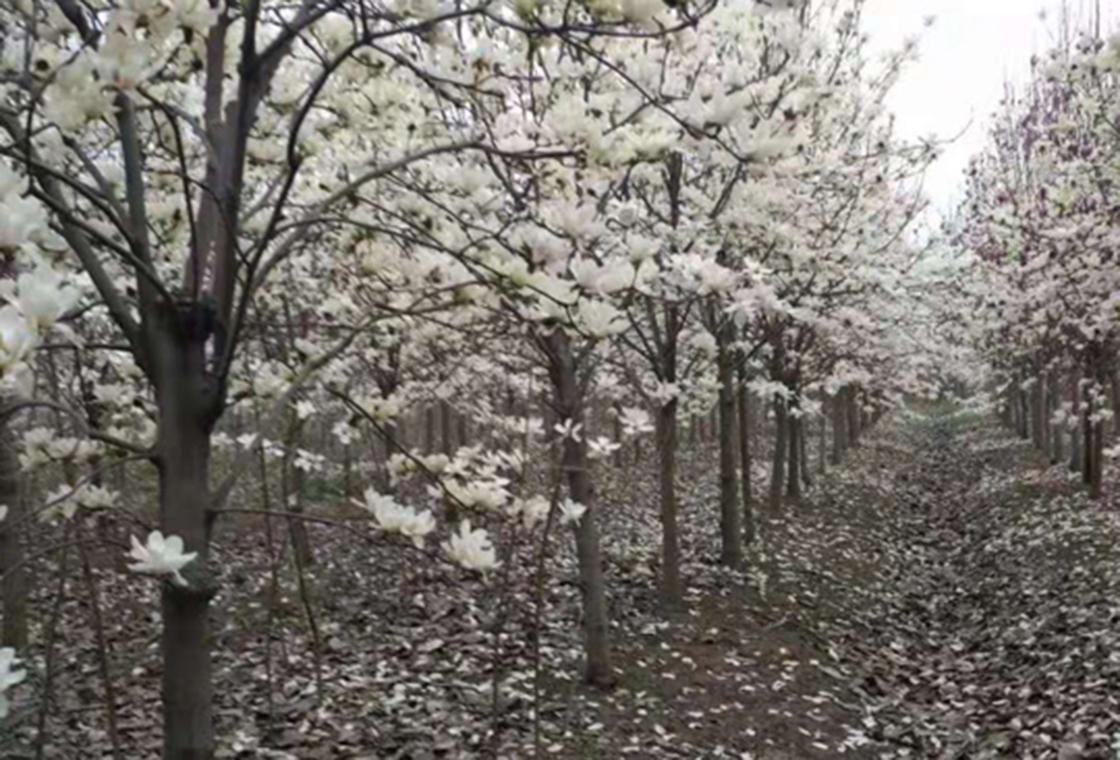 白玉兰种植基地
