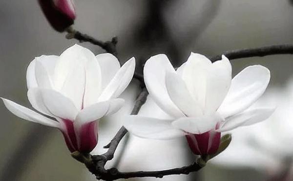 盆栽白玉兰