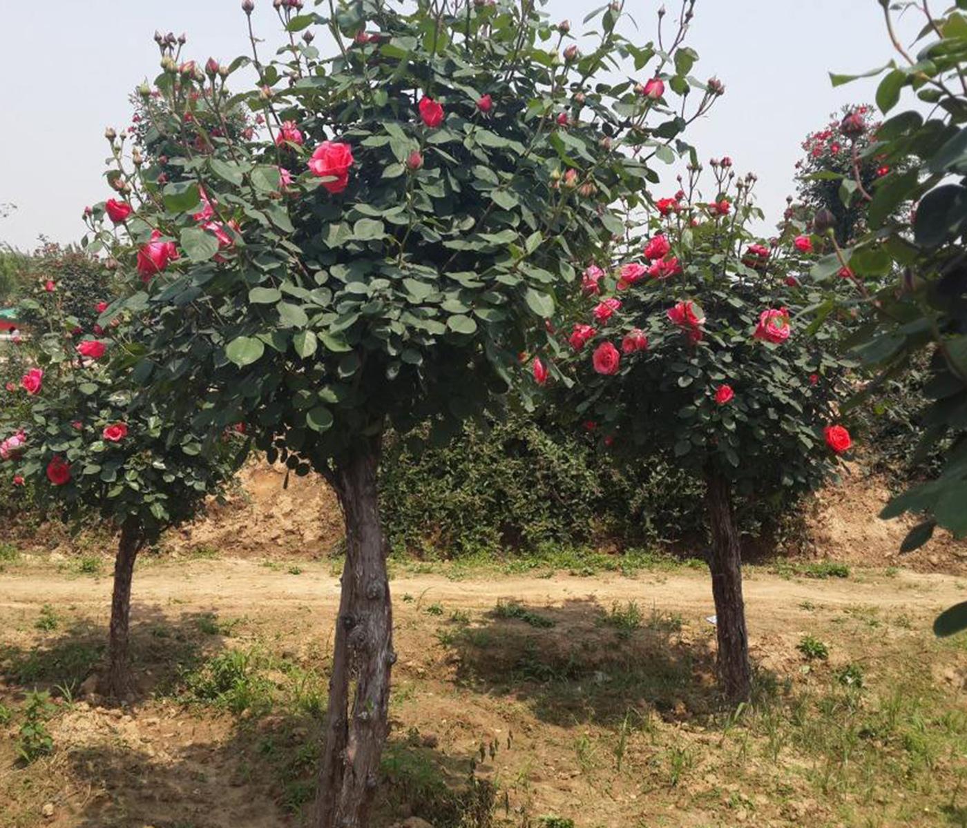 树状月季供应